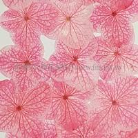 繡球花_粉紅色
