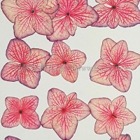 繡球花_線邊粉紅色