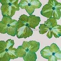 繡球花_淡藍綠色