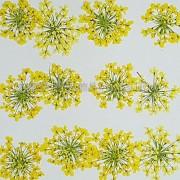 蕾絲花-黃色
