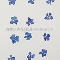 翠珠花-寶藍色