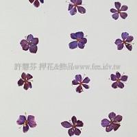 翠珠花-紫紅色