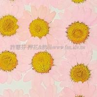 白晶菊-淡粉紅色