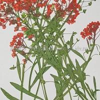 香雪球-紅色帶枝-押花花材