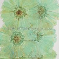 金盞菊-藍色