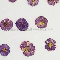 法國小白菊-紫色