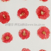 法國小白菊-紅色