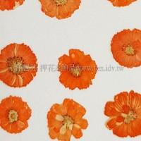 法國小白菊-橙色