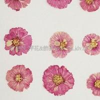 法國小白菊-紫紅色
