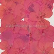 三色菫-紅色