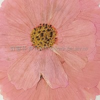 波斯菊-粉紅色