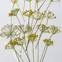 茴香-黃色