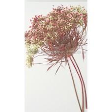 蕾絲大側枝-淡紅