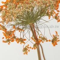 蕾絲大側枝-橙