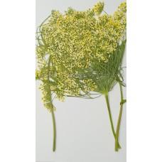 蕾絲大側枝-黃