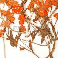 法國小白菊-橙