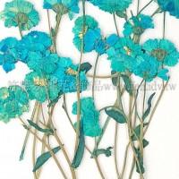 法國小白菊-天藍