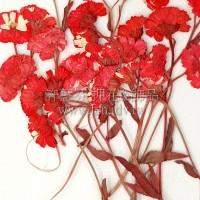 法國小白菊-紅