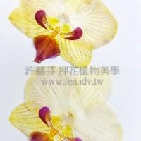 蝴蝶蘭-淡黃紅嘴