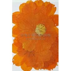 波斯菊-橙色