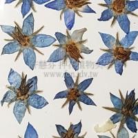 琉璃苣-藍色