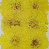 金盞菊-染黃