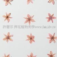 蔥花-粉紅色
