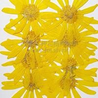 春黃菊-原色