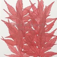 楓葉-染紅色
