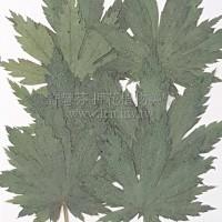 槭葉-綠色