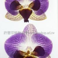 蝴蝶蘭-原色