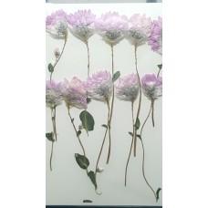 麟托菊-粉紅色