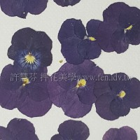 三色菫-藍色