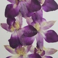 蘭花-尖瓣原色