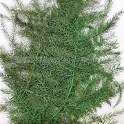 文竹-綠色