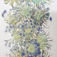 大翠珠-淺藍色- 押花花材