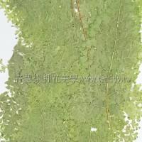 腎蕨-綠色