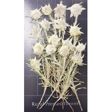 薄雪草-白色