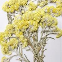 鼠鞠草-黃色