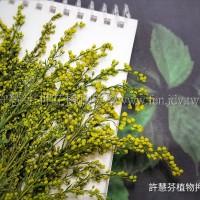 麒麟花-黃色-押花花材
