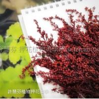 麒麟花-紅色-押花花材
