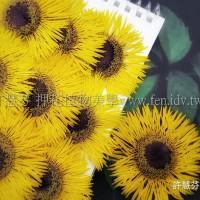 太陽菊細瓣-亮黃色