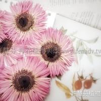 太陽菊細瓣-粉紅色