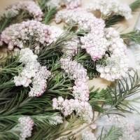 米香花-原色粉紅