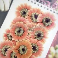 太陽菊-淺桃紅色黑心