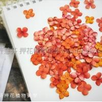 仙丹-圓瓣橙色