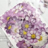 波斯菊-粉藍色
